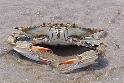 blue_crab_100_4113