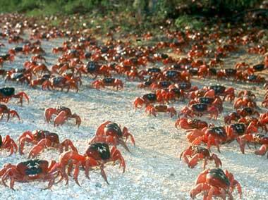 christmas-crabs