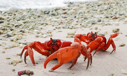 Christmas Island Red Crabs (Gecarcoidea natalis) - on beach. A species of terrestrial crab endemic to Cristmas Island, situated in the Indian Ocean, Australia. It is estimated that as many as 120 million crabs live on the island.