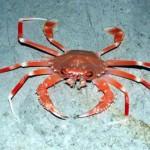 Cangrejo marino