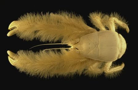 An undated handout photo showing a newly discovered crab found south of Easter Island by Census vent explorers that was so unusual it warranted a whole new family designation, Kiwidae. Beyond adding a new family to the wealth of known biodiversity, its discovery added a new genus, Kiwa, named for the mythological Polynesian goddess of shellfish. Its furry or hairy appearance justified its species name, hirsuta. Results of the first-ever global marine life census were unveiled on October 4, 2010 in London revealing an unprecedented view of life beneath the waves after a decade-long trawl through the murky depths. The Census of Marine Life estimated there are one million-plus species in the oceans, with at least three-quarters of them yet to be discovered.AFP PHOTO/CENSUS OF MARINE LIFE/IFREMA (Photo credit should read IFREMER/AFP/Getty Images)   Original Filename: Par3506030.jpg